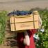 Weintraubenernte mit kleiner Kiste, Briones, Rioja