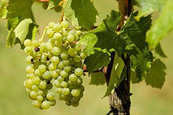 Weisser Rioja