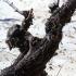 Alte Weinrebe in La Rioja, Spanien