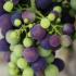 Weintrauben, La Rioja, Spanien