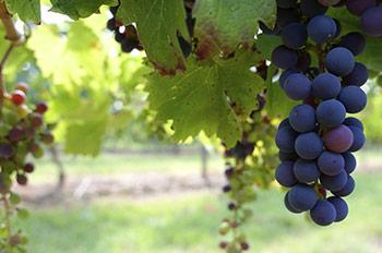 Tempranillo La Rioja